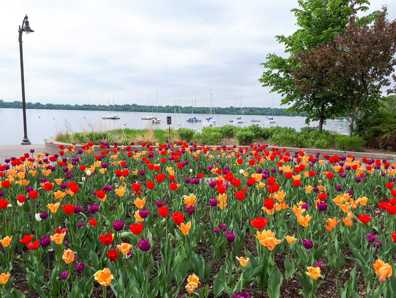 Tulpen am Lake Harriet in Minneapolis