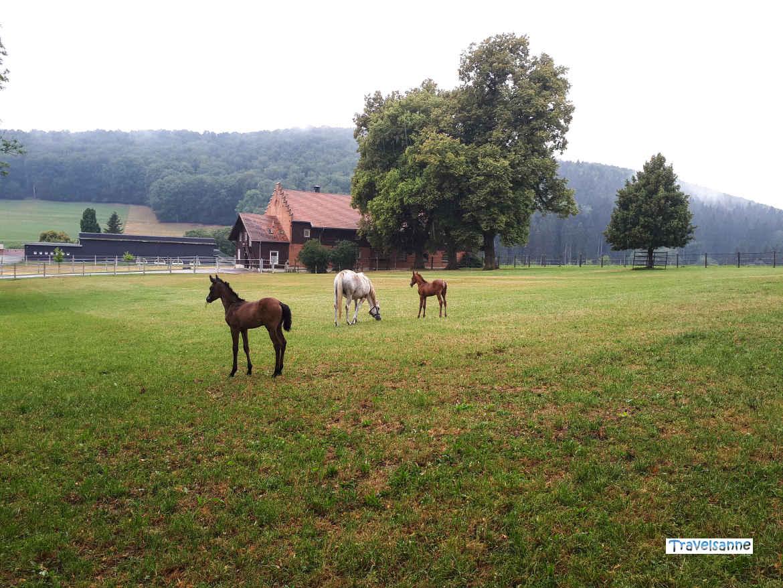 Pferde im Haupt- und Landgestüt Marbach, Schwäbische Alb