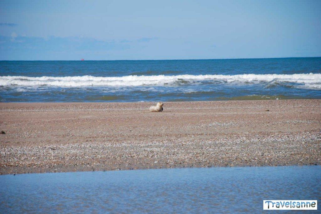 Seehund beim Strandspaziergang auf Norderney