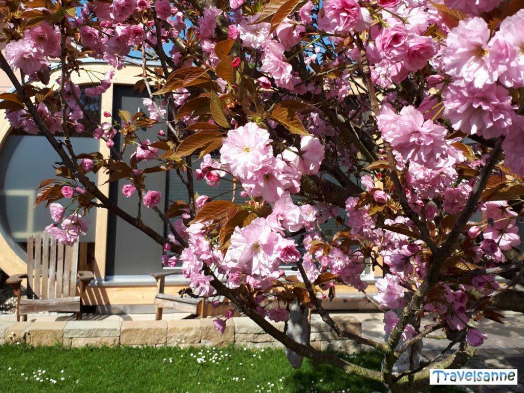 Zauberhafte Zierkirschenblüte in Baden-Württemberg