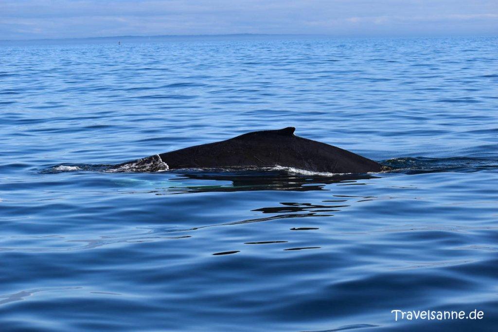Highlight unserer Ostkanada Rundreise: Buckelwale vor Brier Island