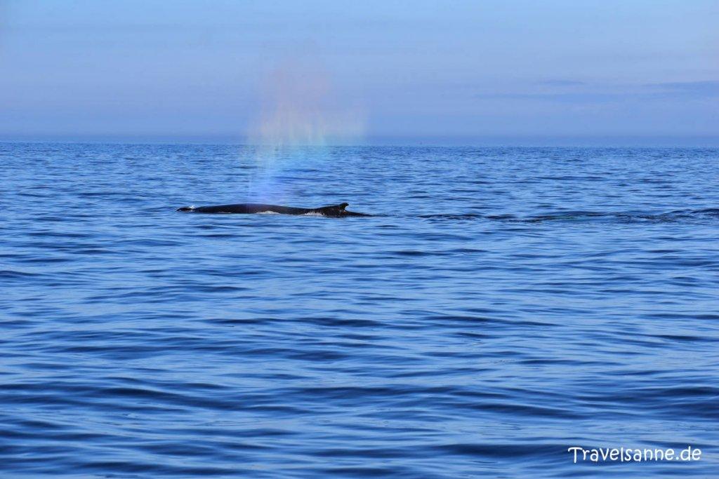 """""""Wal in Sicht"""" bei unserer Walbeobachtungstour vor Brier Island"""