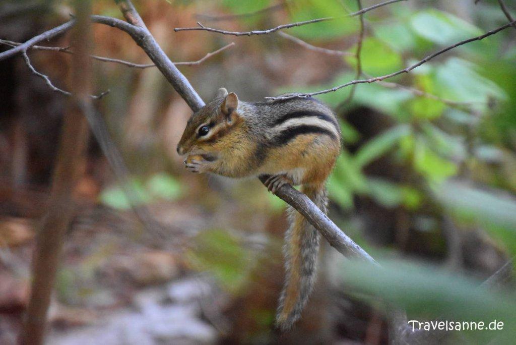 Squirrel beim Nussfrühstück im Forillon Nationalpark