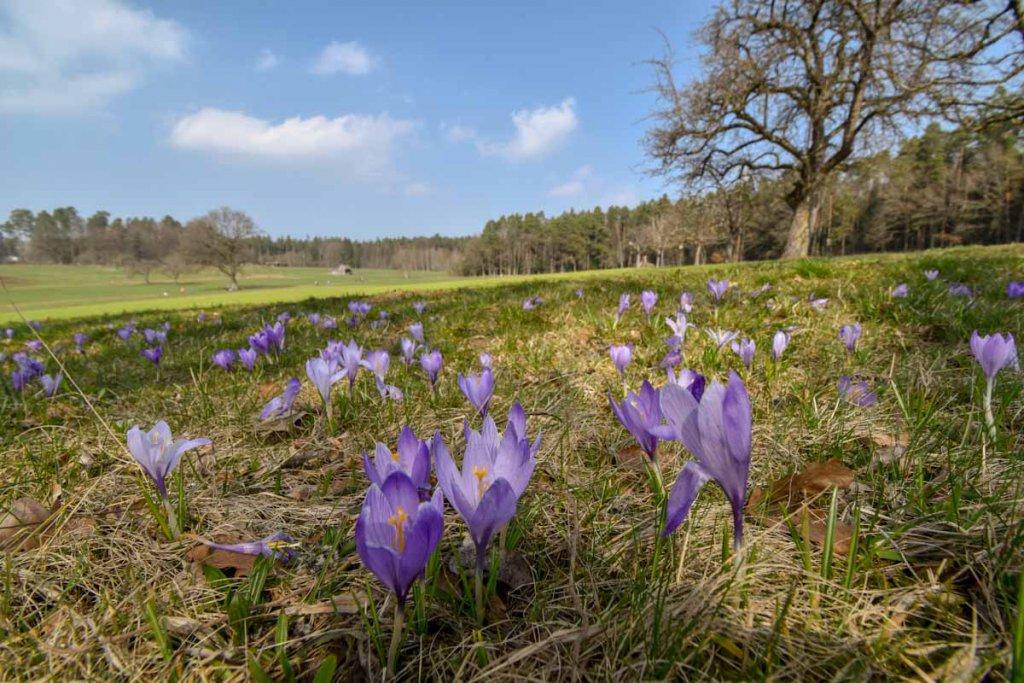 Die einzigartige Zavelsteiner Krokusblüte im Nordschwarzwald