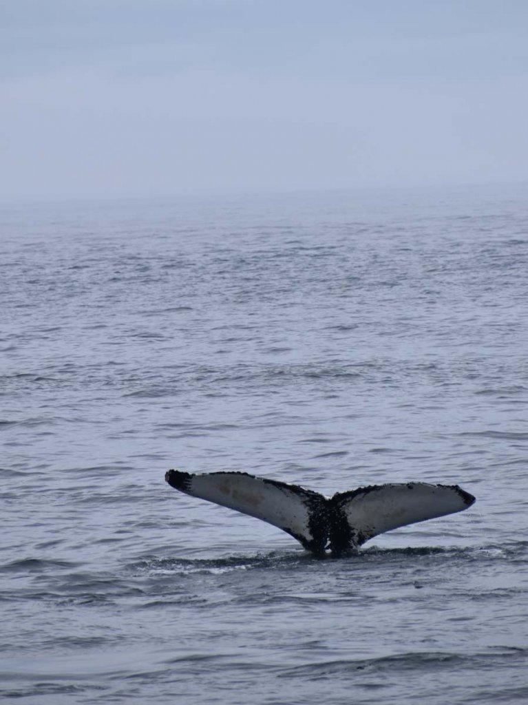 Spektakulär: Die Schwanzflosse eines Buckelwals beim Abtauchen