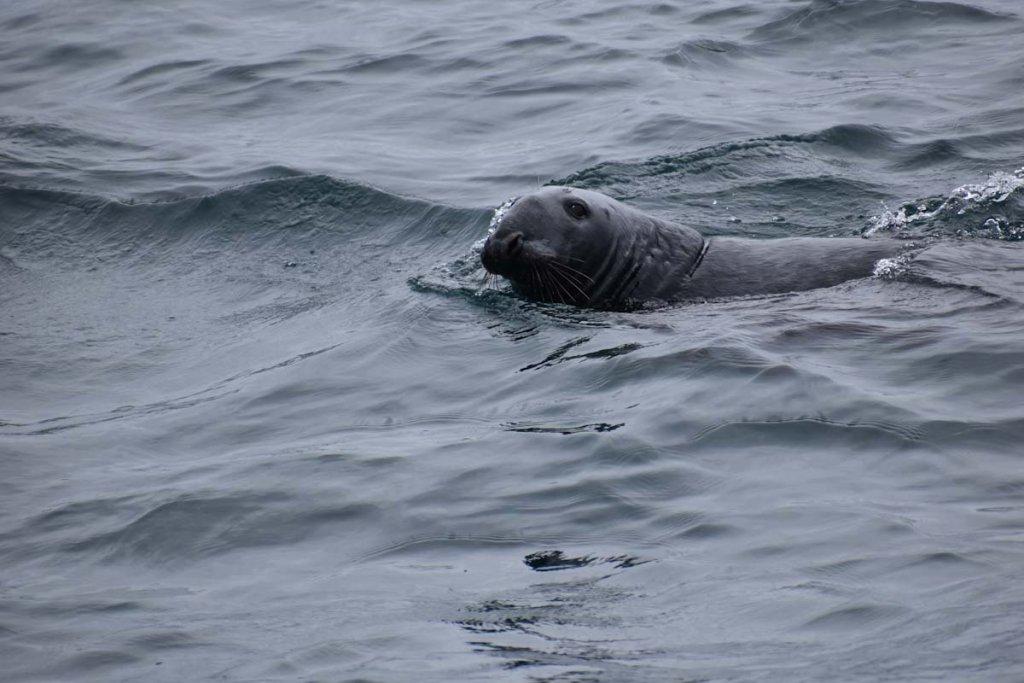 Besuch eines neugierigen Grey Seals