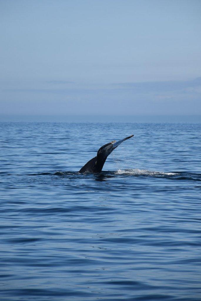 Immer von Applaus begleitet: Das Abtauchen der Buckelwale