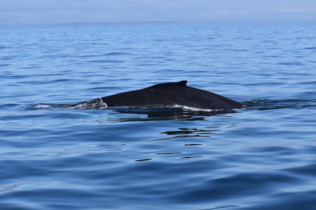 Buckelwale sehen vor Kanadas Ostküste