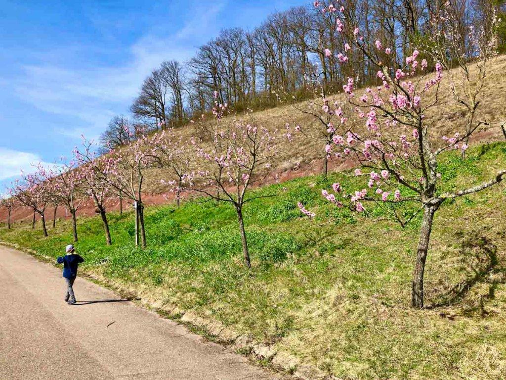 Baden Württemberg Wandern zur Mandelblüte Diefenbach