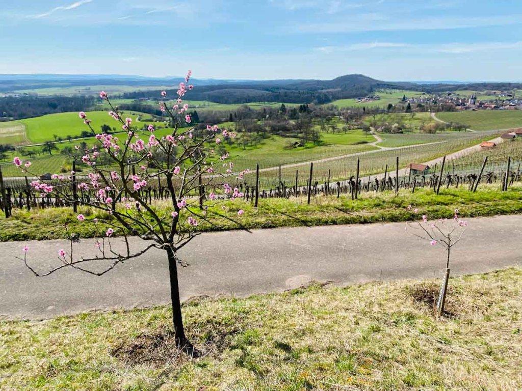 Wandern mit Kindern zur Mandelblüte in Diefenbach