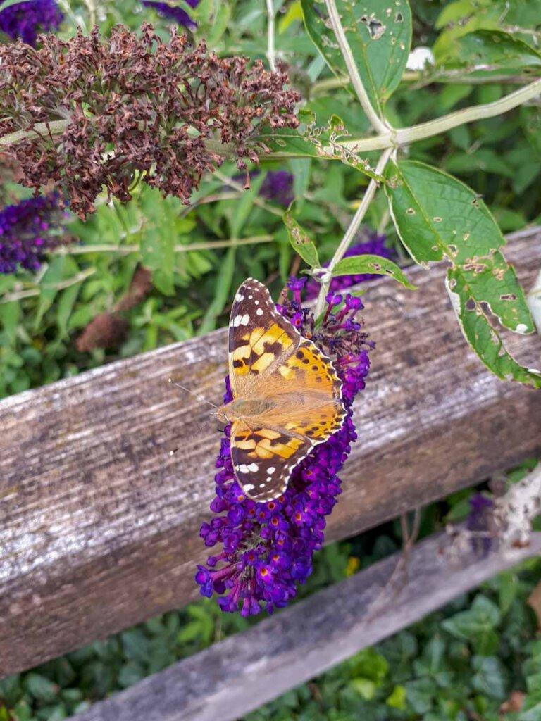 Naturparadies Oberes Donautal: Überall flattern Schmetterlinge