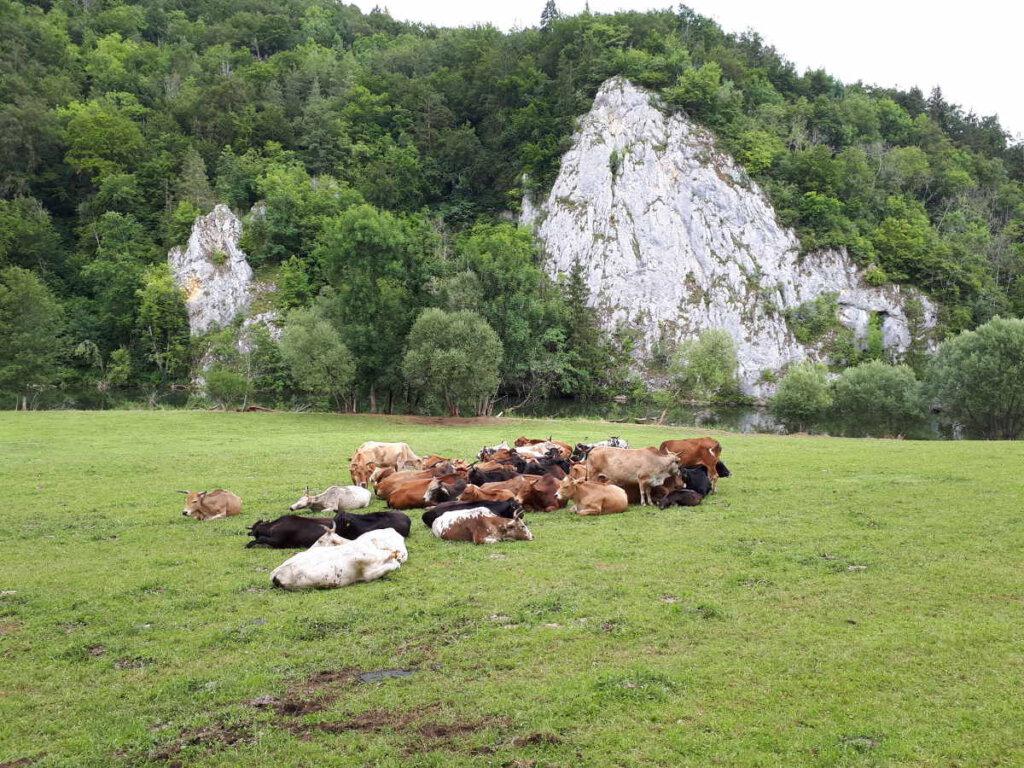 Zufriedene Kühe auf den felsumrahmten Weiden im Oberen Donautal