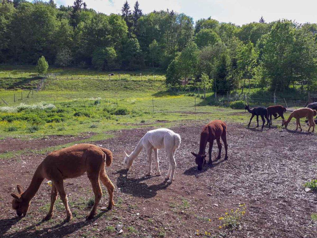Wandern mit Alpakas im Großen Lautertal
