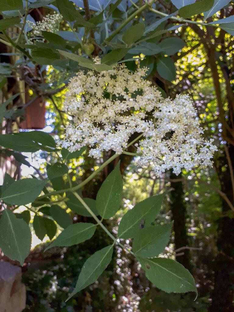 Die cremeweißen Blütendolden des Schwarzen Holunders