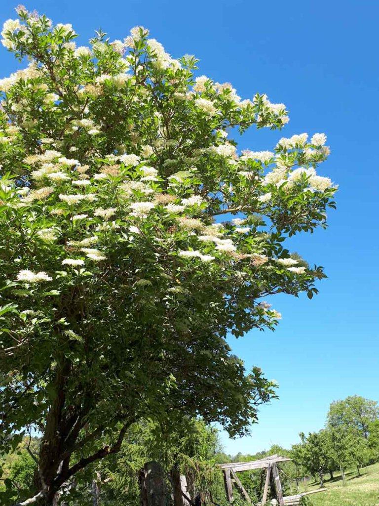 Ein riesiger Holunderstrauch in voller Blüte am Wegesrand