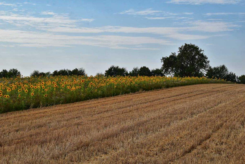 Hochsommer im Kraichgau: Sonnenblumenfelder und bereits abgeerntetes Getreide