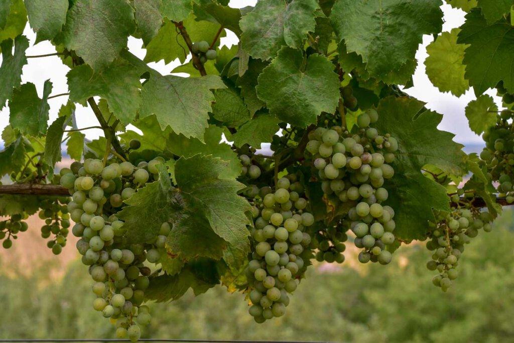 Weinreben auf dem Weinlehrpfad am Derdinger Horn