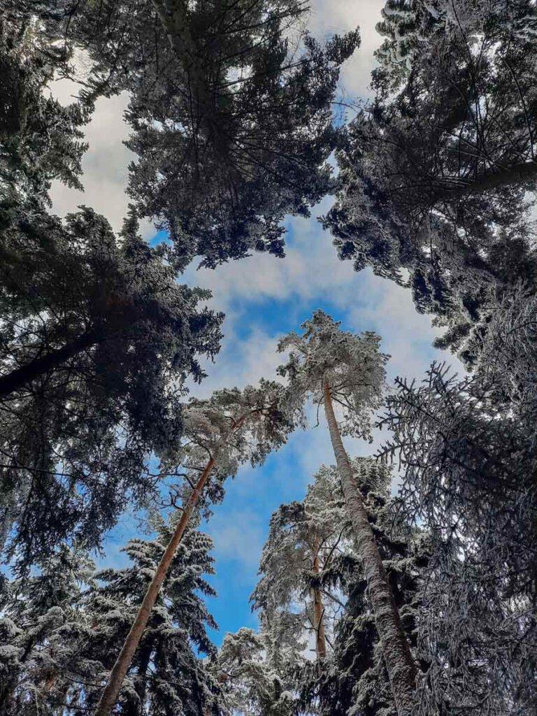 Baumwipfel im winterlichen Schwarzwald