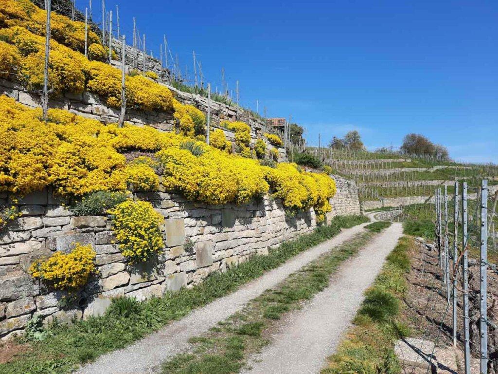 Blütenpracht im Frühling in den Terrassenweinbergen Mühlhausens
