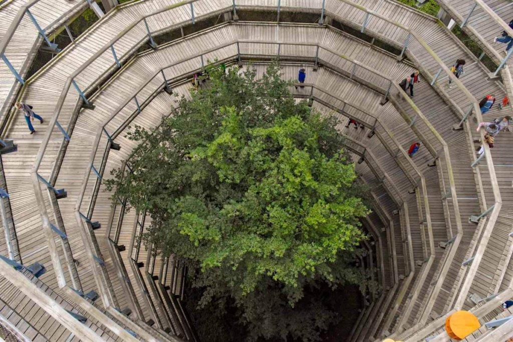 Die Rampe des Baumwipfelpfads Rügen windet sich spektakulär um eine Rotbuche
