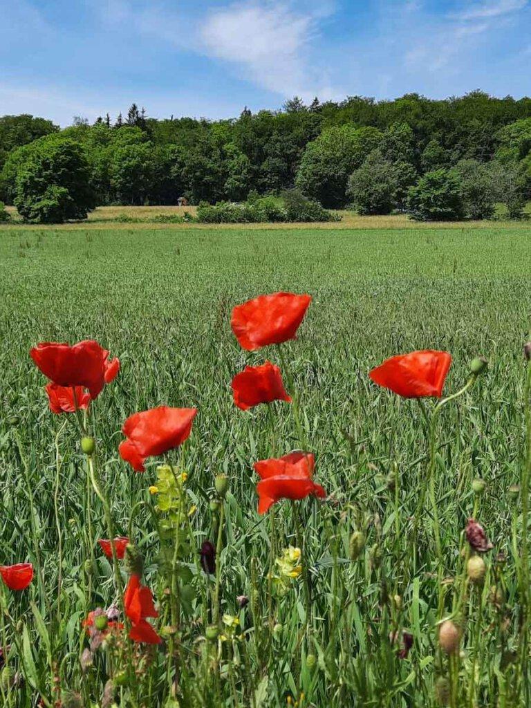Typisch Sommer auf der Schwäbischen Alb: Getreidefelder und Klatschmohn