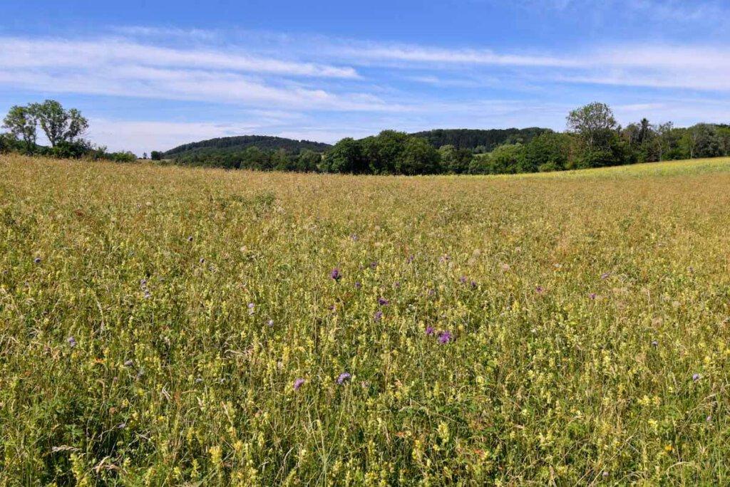 Blühende Sommerwiese auf der Schwäbischen Alb mit Tausenden Insekten