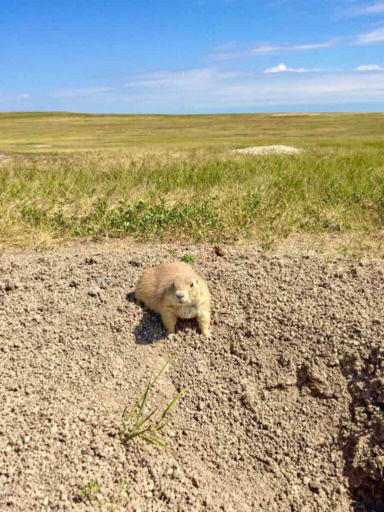 Die süßen Prairie Dogs im Badlands National Park in South Dakota