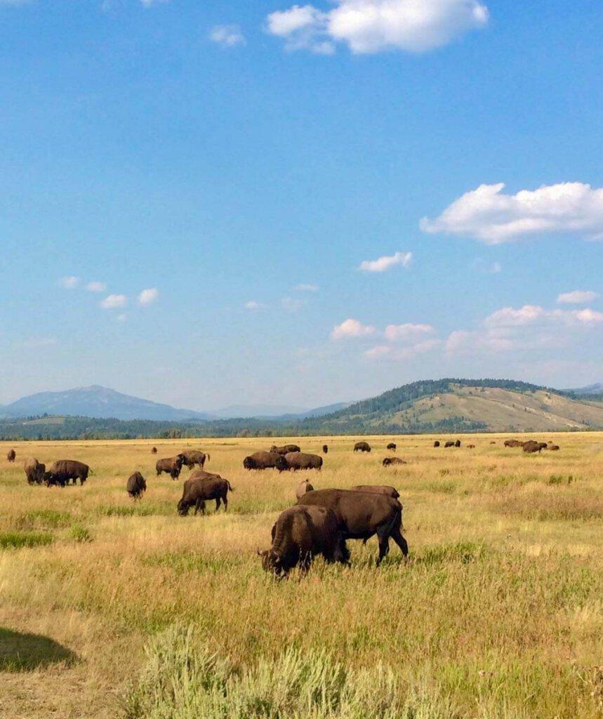 Die Attraktion im Custer State Park in South Dakota: die riesige Bisonherde