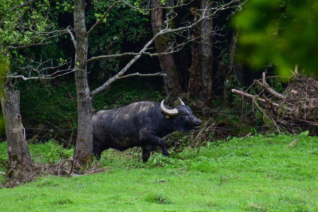 Keine Fata Morgana: Wasserbüffel im Liesertal in der Vulkaneifel