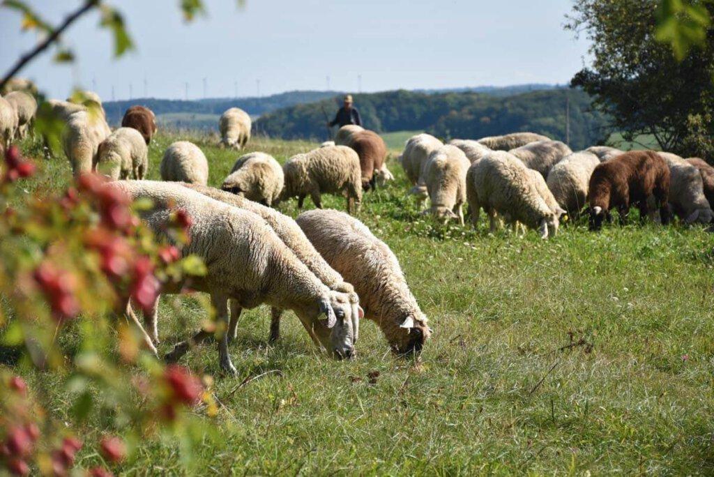 Zu einer Wanderung auf der Schwäbischen Alb gehören einfach Schafe