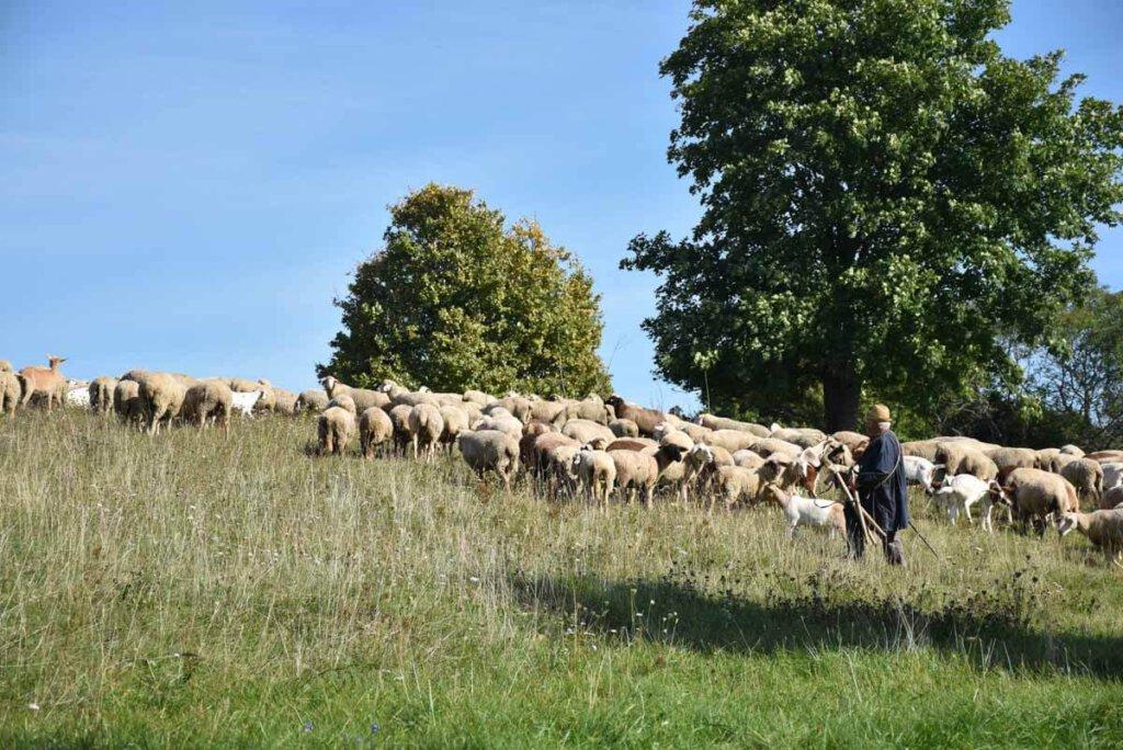 Albschäfer mit Herde im Biosphärengebiet Schwäbische Alb