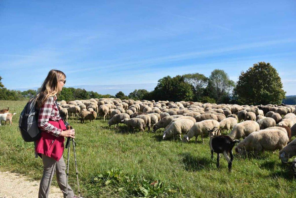 Travelsanne beim Wandern auf der Schwäbischen Alb mit Schafherde