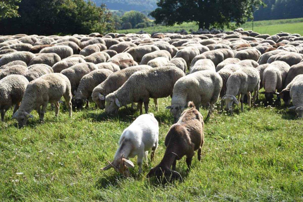 Ein paar lustige Ziegen begleiten die Schafherde